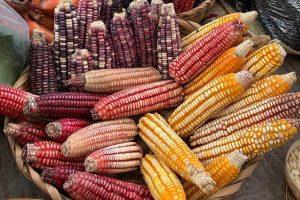 """""""Sin maíz no hay país"""", Día Nacional del Maíz"""