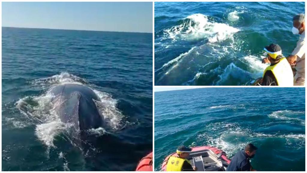 Marinos liberan a ballena en San Blas