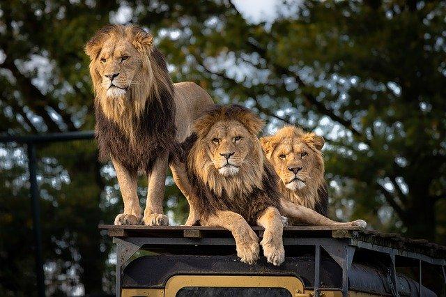 En zoológico de Barcelona 4 leones dan positivo a COVID-19