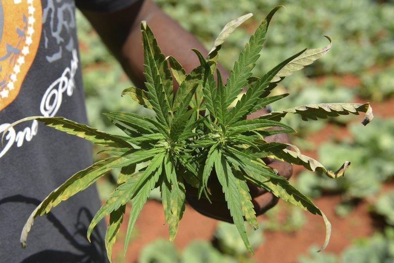 Marihuana Foto: AP