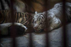 Nacen en Cuba 4 tigres de Bengala; uno de ellos es blanco