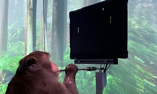 Elon Musk colocó un chip cerebral a un mono y ahora juega videojuegos (Video)