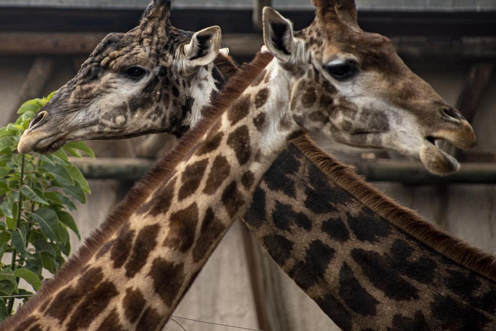 Zoológico chileno en graves dificultades por la pandemia