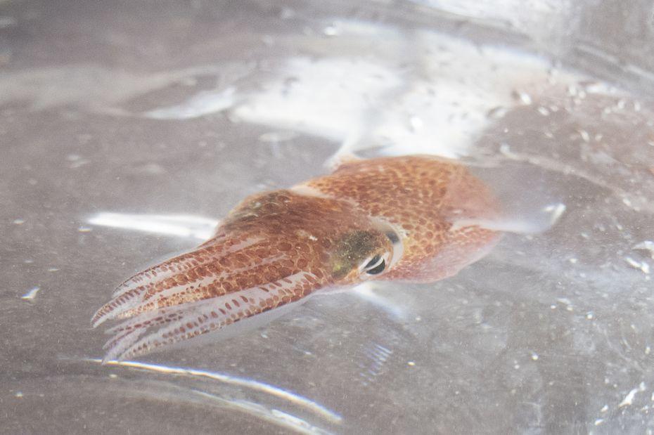 La NASA tiene calamares hawaianos en el espacio para estudio Foto: Internet