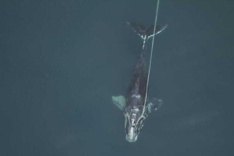 Ballenas francas del Atlántico son cada vez más pequeñas Foto: AP