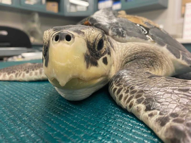 Liberarán a 7 tortugas marinas que fueron rescatadas en EUA