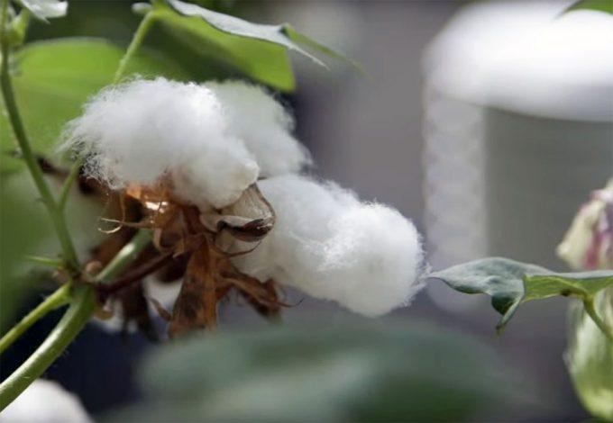 semilla de algodón Foto: Internet