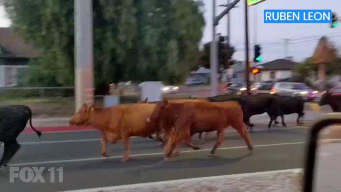 En California, EUA, escapan 40 vacas de un matadero; 1 ataca familia