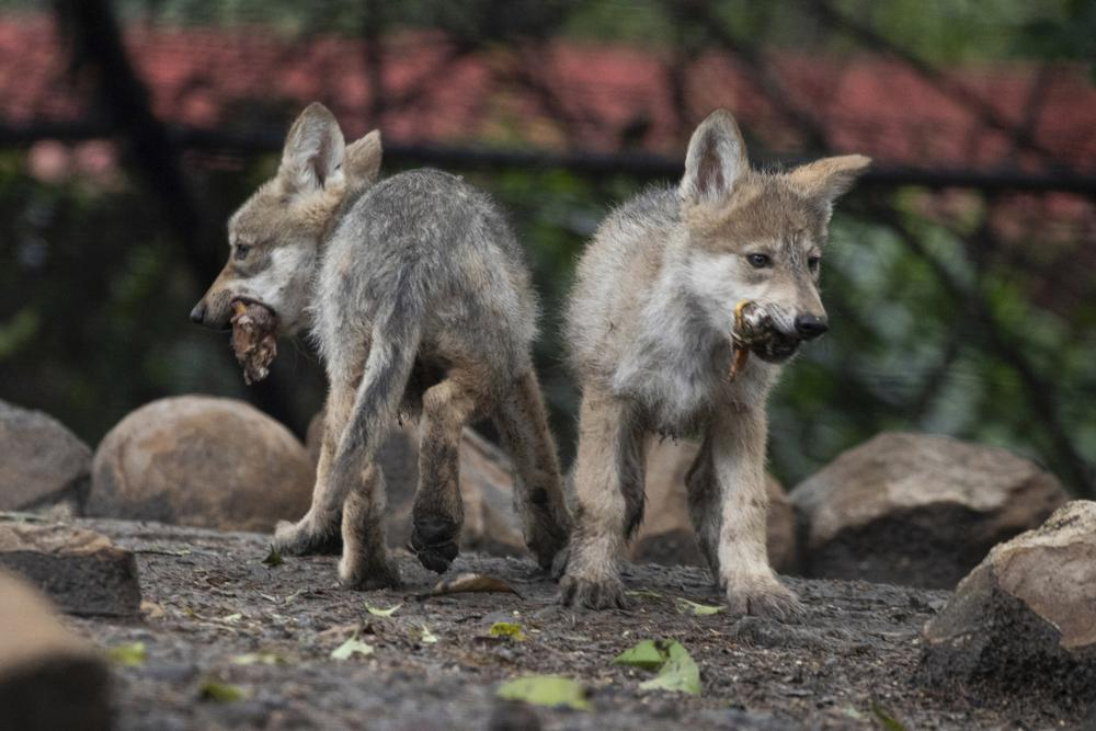 Camada de lobos en México; esperanza para evitar extinción Foto: AP