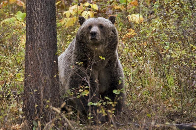Un oso grizzly mata a un campista en Montana