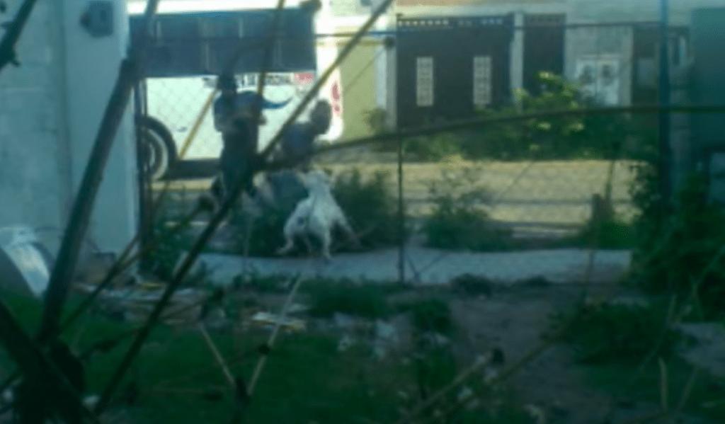 Denuncian a pitbull que atacó a niño en Querétaro