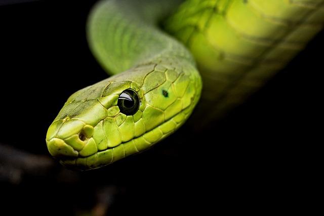 En veneno de serpiente hallan sustancia que impide reproducción de Covid