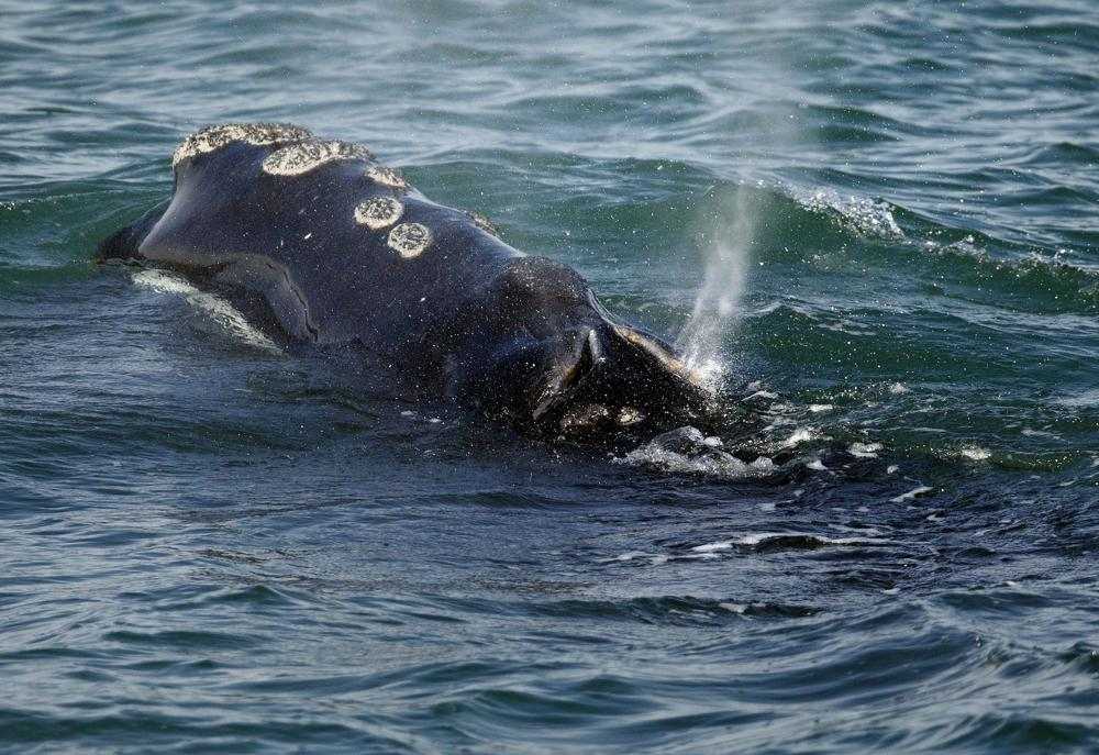 Restringen pesca de langosta en EUA para proteger ballenas