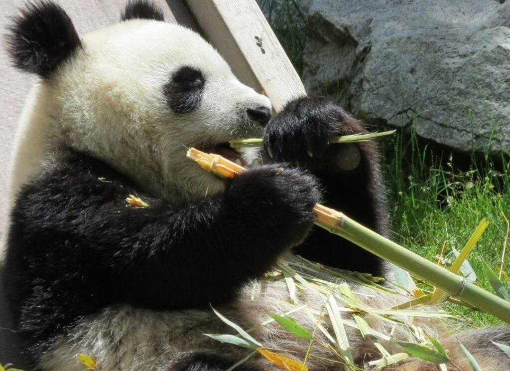 Nacen gemelos de panda en el Zoológico de Madrid