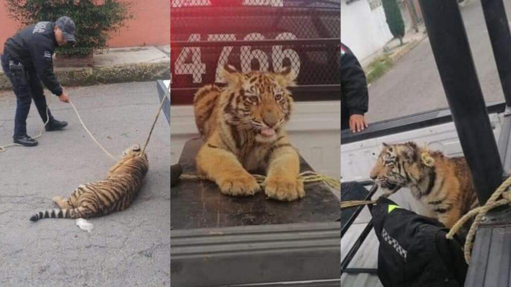 Tigre cachorro deambula por Cuatitlán, lo llevan al MP