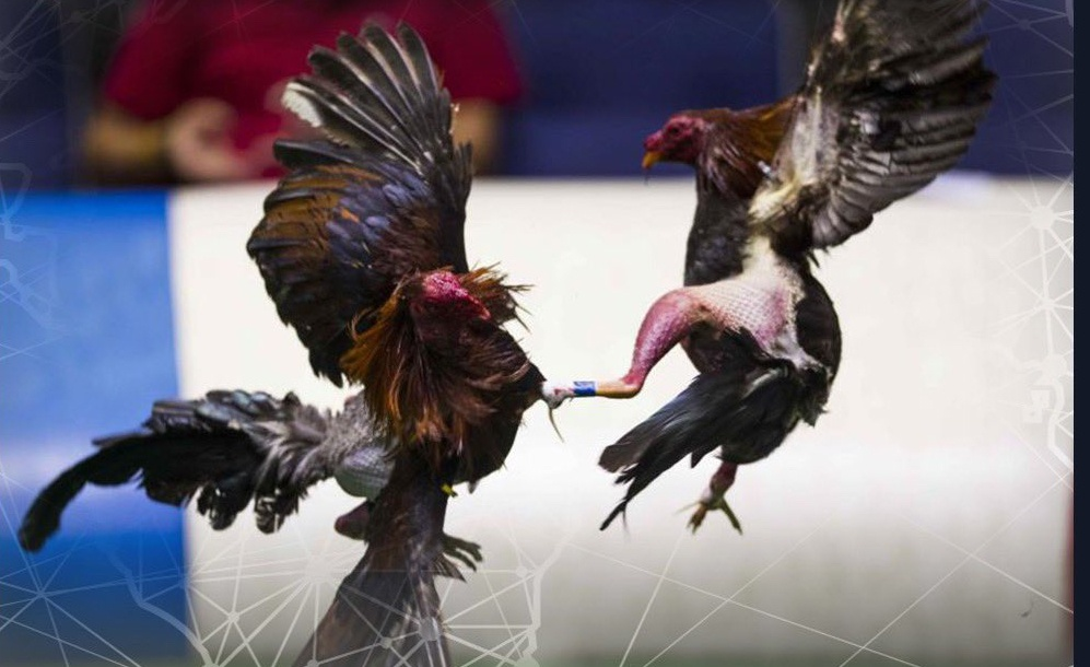 Corte avala prohibición de peleas de gallos en Puerto Rico